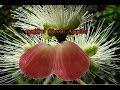 Download ชมพู่ยักษ์ (Rose Apple) กำแพงเพชร085 2441699 Video