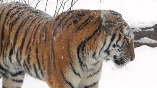 Download Pair of Siberian Tigers Explore In the Snow...in HD! Video
