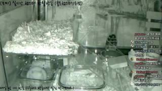 Download [모찌Live/햄스터] 실시간 햄스터 관찰 방송 Hamster Live #16-12-05 Video