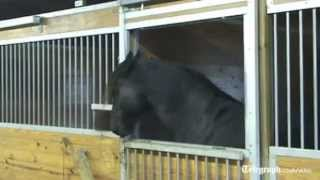 Download 'Houdini' horse escapes from stable and frees friends Video