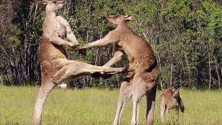 Download La violence extrême du kangourou - ZAPPING SAUVAGE Video