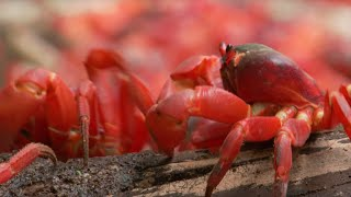 Download March of the Red Crabs | Lands of the Monsoon | BBC Video