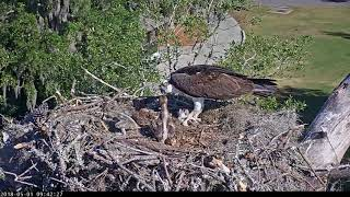Download Sibling Aggression During Feeding In Savannah Osprey Nest – May 1, 2018 Video