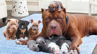 Download Mom Pitbull dog happy to welcome new members- Dog giving birth video Video