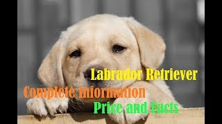 Download Labrador Retriever Price Worldwide/India/Nepal and Some Facts about Them Video