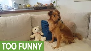 Download Funny dog hilariously howls along to music notes Video