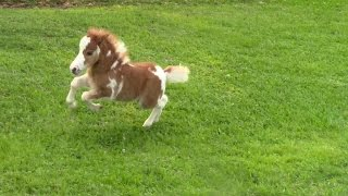 Download ″SOLD″ Miniature horse for sale - Dent Lucky Splasher - 2015 Foal Video