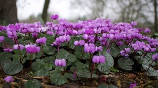 Download How to grow Cyclamen from seeds to flowering plant? | Germination period, care Video
