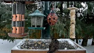 Download European Starling Joins the Cast of Characters in Ontario – Nov. 21, 2016 Video