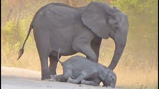 Download Elephants Desperately Try Bring Dying Calf Back to Life Video