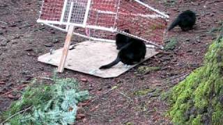 Download Trapping Feral Cats.AVI Video