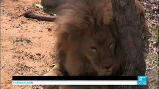 Download A beautiful story: 33 rescued circus lions take first step in South African sanctuary Video