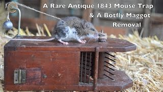 Download Rare Antique 1843 Mouse Trap In Action & Removing a Botfly Maggot From a Live Mouse Video