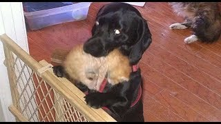 Download When This Cat Gave Birth To Seven Kittens, The Family Dog's Animal Instincts Took Over Video
