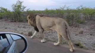 Download The king of the Jungle | Do not tease Asiatic Lion | Sasan Gir Video