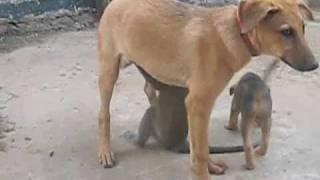 Download Vervet Monkey and Puppy Love! Video
