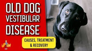 Download Old Dog Vestibular Disease: signs, treatment and recovery Video