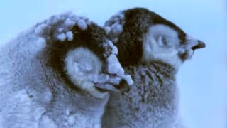 Download Penguin Chicks Struggle To Survive - Planet Earth - BBC Earth Video