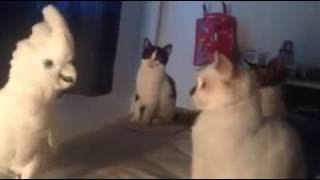 Download Cockatoo Meows Like a Cat Video