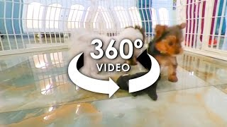 Download 360° Video of TeaCup Puppies 2 - #ALLieCamera Video