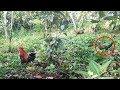 Download AYAM HUTAN MERAH: Pikat Ayam Buruan Dapat Ayam Hutan Betina Video