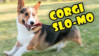 Download CORGIS RUNNING & DERPING IN SLOW MOTION: The Funniest Dog Breed Video