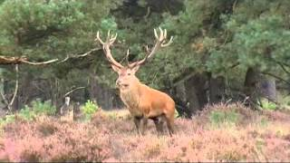Download King of the Woods, Red Deer, Veluwe Video