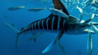 Download SPEARED by a MARLIN Video