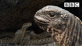 Download Iguana chased by snakes - Planet Earth II: Islands - BBC One Video