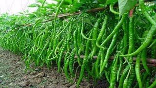 Download WOW! Amazing Agriculture Technology - Sweet & Chili Peppers Video