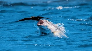 Download Un poisson gobe un oiseau en plein vol - ZAPPING SAUVAGE Video