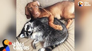 Download Dog Loves Protecting Her Raccoon Sister - JUNE & WAFFLES | The Dodo Odd Couples Video