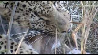 Download Male Leopard Eating A Bushbuck Video