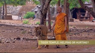 Download Thai Tiger Temple Defends Itself Amid Controversy Video