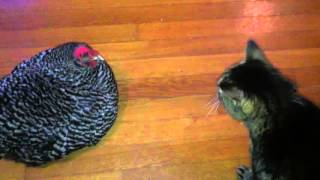 Download The Chicken & Cat Talk to Each Other Video
