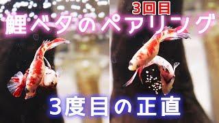 Download 【鯉ベタ】ついにきた!ベタの産卵【アクアリウム】 Video