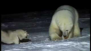 Download Urso polar vs cão husky siberiano Video