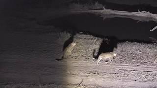 Download Djuma: Three Leopards-Thandi, Hosana and Tlalamba shows up-Pt:1 - 03:01 - 09/02/18 Video