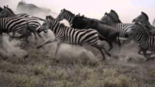 Download Zebra & Wildebeest Stampede Video