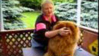Download How to Raise a Happy Healthy Chow Chow Video