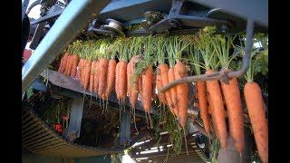 Download Cabbage and Carrot Harvesting Machine Modern agriculture Video