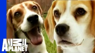 Download Beagle | Dogs 101 Video