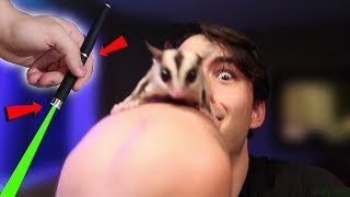 Download EXPERIMENT!: SUGAR GLIDER REACTS TO DOG LASER POINTER!? Video