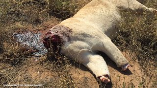 Download SAPA offers a Reward to help Stop Lion Poaching in South Africa Video