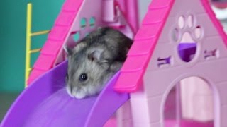 Download Happy Hamster playing with toys Barbie Video