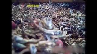 Download MSG 멸치의 진실, 멸치잡이 어선에서 뿌리는 흰가루의 정체 먹거리X파일 39회 Video