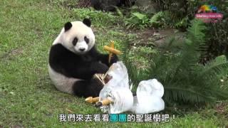 Download 大貓熊圓仔和爸爸團團祝大家聖誕快樂!Giant Pandas' Christmas Tree! Video