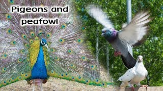 Download Pigeons & Peafowl of The 10 Acre Woods Video