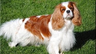 Download Not the Truth About the Cavalier King Charles Spaniel (stop bullying me pls) Video