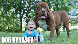 Download Giant Pit Bull Hulk & The Newborn Baby | DOG DYNASTY Video